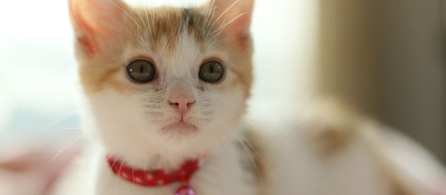 Pet With flea collars for cats